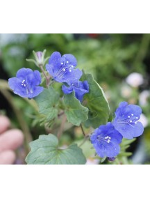 California blue bell flower seeds