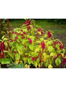 Amaranthus, Love Lies Bleeding Seeds (50 Seeds per Packet)