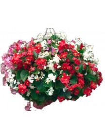 Begonia flower seeds( 50 Seeds Per Packet)