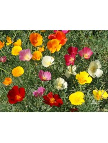 California Poppy Flower Seeds Mix
