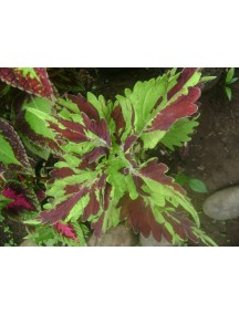 ChoosePick Coleus Seeds Burgendy Green (50 Seeds)
