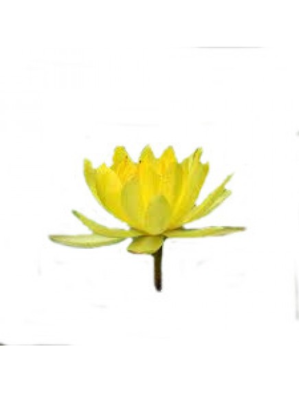Lotus Yellow Flower seeds