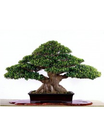 Banyan Seeds Bonsai Seeds